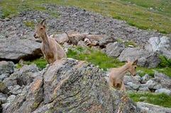 Козы горы, высокие Стоковая Фотография