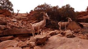 Козы горы в каньоне Сиона, Юте Стоковое Изображение