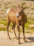 Козы горы в национальном парке яшмы Стоковые Изображения
