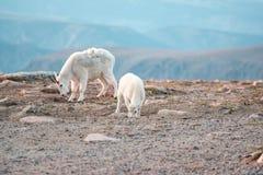 Козы горы в ряде Beartooth Стоковые Фотографии RF