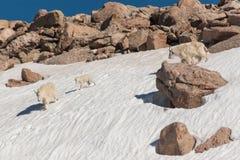 Козы горы в снеге стоковые изображения
