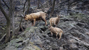 Козы горы на зоопарке Стоковое Фото