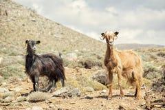 2 козы горы стоя на предпосылке гор и s Стоковое Фото