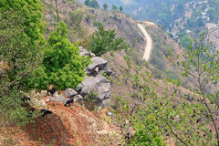 Козы горы стоя на скале Стоковые Фотографии RF