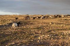 Козы горы Стоковые Фото
