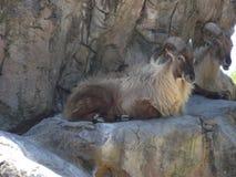 Козы горы Стоковое Фото