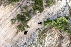 Козы горы Стоковые Изображения
