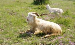 2 козы лежа вниз на лужайке горы Стоковая Фотография