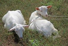 2 козы лежа на траве Стоковое Изображение