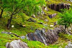 Козы деревни пася на скалистом холме Стоковая Фотография