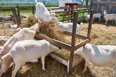 Козы есть питание на ферме на солнечном летнем дне Стоковые Изображения RF