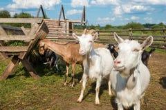 Козы есть питание на ферме Стоковое Изображение