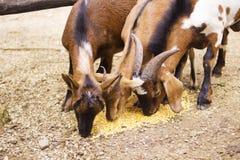 Козы есть питание Стоковое фото RF
