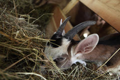Козы есть сено на ферме Стоковое Фото