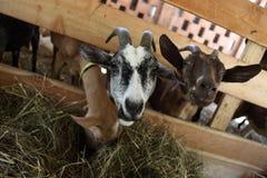 Козы есть сено на ферме Стоковые Изображения