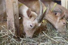 Козы есть сено на ферме Стоковые Фото