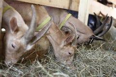 Козы есть сено на ферме Стоковое Изображение RF