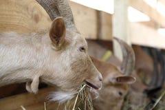 Козы есть сено на ферме Стоковое Изображение