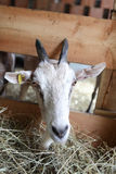 Козы есть сено на ферме Стоковая Фотография