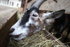 Козы есть сено на ферме Стоковые Фотографии RF