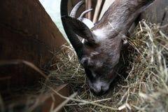 Козы есть сено на ферме Стоковые Изображения RF