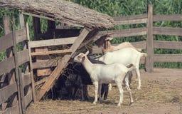 Козы есть сено ферма Стоковое Изображение