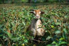 Козы есть траву и лист чая Стоковое Фото