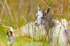 Козы есть траву на выгоне Стоковое Изображение