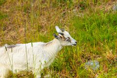 Козы есть траву на выгоне Стоковая Фотография RF