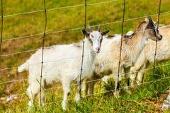 Козы есть траву на выгоне Стоковые Изображения RF