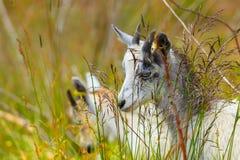 Козы есть траву на выгоне Стоковая Фотография