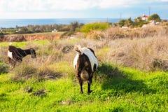 Козы есть траву на выгоне Стоковые Изображения