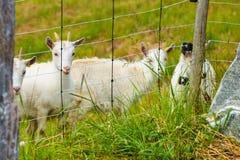 Козы есть траву на выгоне Стоковое Фото