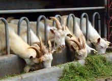Козы есть траву на ферме Стоковое Фото