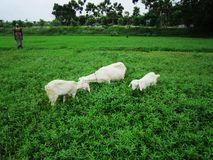 Козы есть травы на поле Стоковое Изображение RF