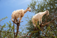 Козы есть Argan приносить на дереве Стоковое Изображение RF