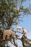 Козы есть Argan приносить на дереве Стоковые Фотографии RF