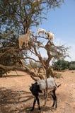 Козы есть Argan приносить на дереве Стоковые Изображения
