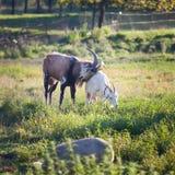 2 козы жуя траву на farmyard Стоковое фото RF