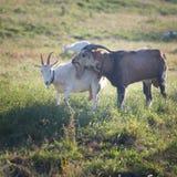 2 козы жуя траву на farmyard Стоковое Фото