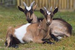 2 козы имеют остатки на зеленом луге - русской деревне Стоковые Фотографии RF