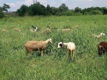 2 козы и их табун фуражируя для еды стоковое фото