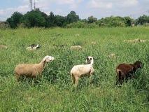 3 козы и их табун стоковое фото