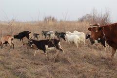Козы и коровы в выгоне Стоковые Изображения RF