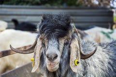 Козы и овцы на животном рынке Стоковое фото RF