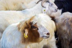 Козы и овцы на животном рынке Стоковая Фотография