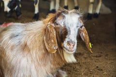 Козы и овцы на животном рынке Стоковая Фотография RF
