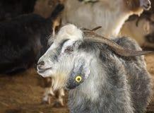 Козы и овцы на животном рынке Стоковые Изображения RF