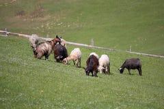 Козы и овцы пасут на выгоне горы Стоковое Фото