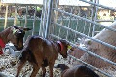 Козы и свиньи в ферме Стоковое Изображение